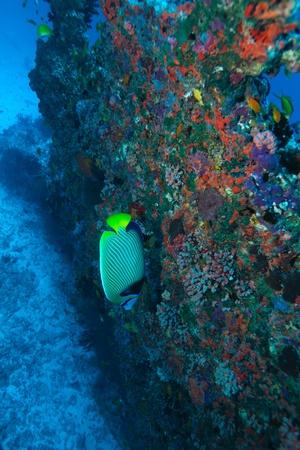 pomacanthus imperator: Il angelfish imperatore (Pomacanthus imperator), Maldive