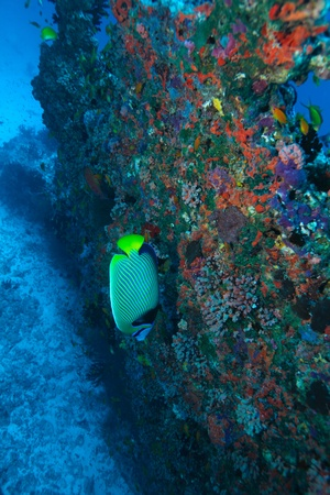 pomacanthus imperator: The emperor angelfish (Pomacanthus imperator), Maldives Stock Photo