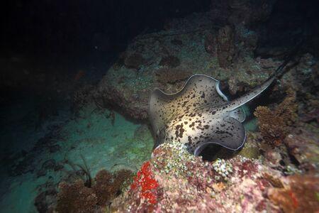 taeniura: The blotched fantail ray (Taeniura meyeni), Maldives