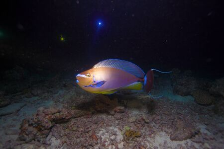 surgeonfish: Surgeonfish (Acanthurus) at night dive, Maldives