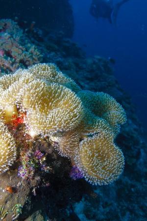 sarcophyton: Soft coral Sarcophyton trocheliophorum, Maldives Stock Photo