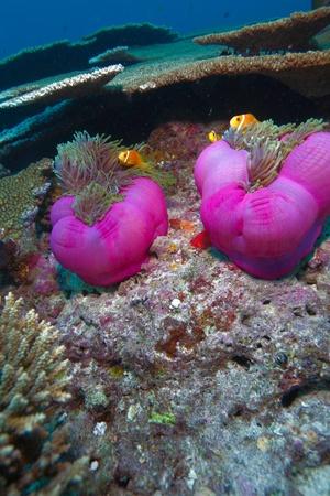 Maldive anemonefish (Amphiprion nigripes) in a sea anemone (Heteractis magnifica), Maldives Stock Photo