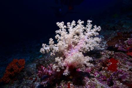 gorgonian: Gorgonian - soft coral, Maldives