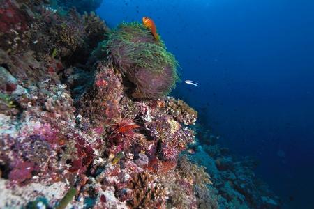 Maldive anemonefish (Amphiprion nigripes) in a sea anemone (Heteractis magnifica), Maldives photo
