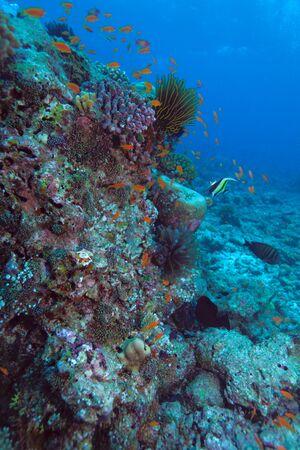 The moorish idol (Zanclus cornutus) near coral wall, Maldives