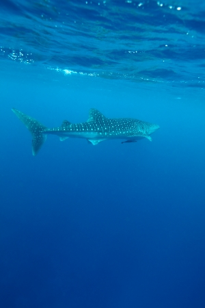 Whale shark (Rhincodon typus), Maldives Stock Photo - 10329235