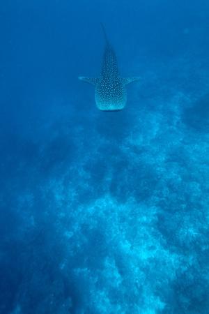Whale shark (Rhincodon typus), Maldives photo