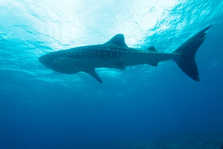 Whale shark (Rhincodon typus), Maldives photo