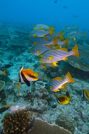 vittatus: The Oriental sweetlips ( Plectorhinchus vittatus) and Masked bannerfishes (Heniochus monocera), Maldives