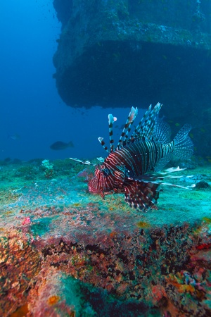 firefish: Devil firefish (Pterois miles) near ship wreck, Maldives Stock Photo