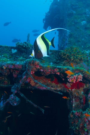 zanclus cornutus: The moorish idol (Zanclus cornutus) near ship wreck, Maldives