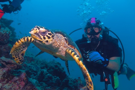 La tortuga carey (Eretmochelys imbricata) nadando lejos de buzo, las Maldivas