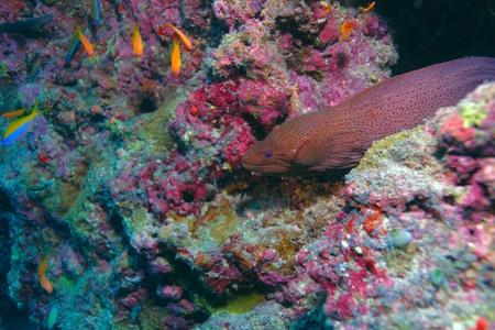 The giant moray (gymnothorax javanicus) with shrimp, Maldives photo