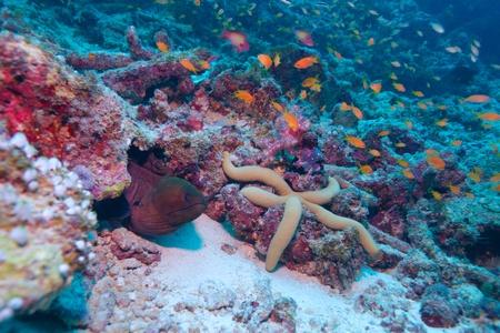 The giant moray (gymnothorax javanicus) with big sea star, Maldives photo