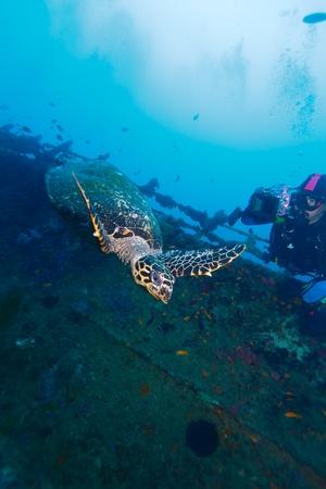 The hawksbill turtle (Eretmochelys imbricata) near ship wreck, Maldives Stock Photo - 10329433