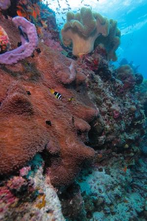 Yellowtail clownfish (Amphipn clarkii) with sea anemone, Maldives Stock Photo - 10329334