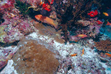 decapod: Shrimp-like decapod crustacean(stenopus hispidus), Maldives