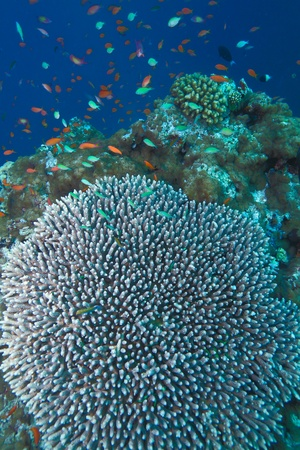 acropora: Coral of genus Acropora pharaonis, Maldives