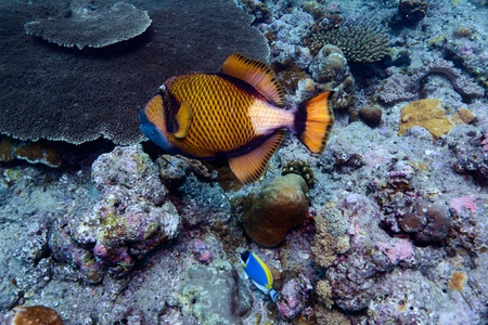 The titan triggerfish (Balistoides viridescens), Maldives Stock Photo - 10378373