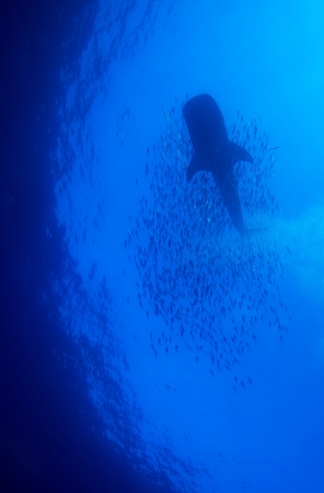 Whale shark with school of fishes, Cayo Largo, Cuba Stock Photo - 15142697