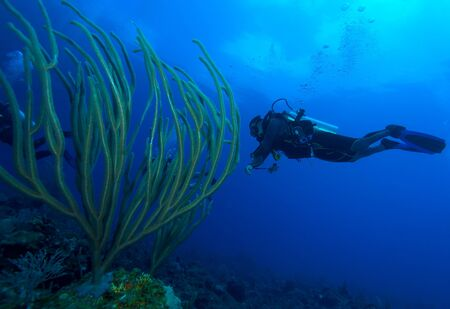 Diver and soft corals, Cayo Largo, Cuba photo