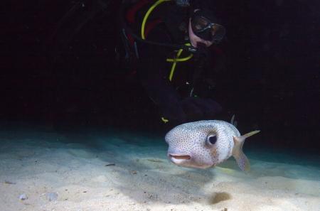 pez globo: Pufferfish con buceador durante la inmersión noche, Cuba