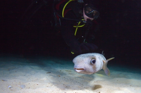 pufferfish: Pufferfish with diver during night dive, Cuba