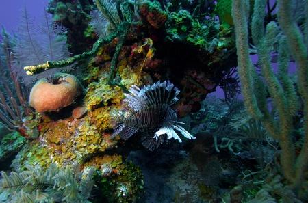 pterois: Lionfish  Pterois  near coral, Cayo Largo, Cuba