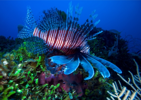 Lionfish  Pterois  near coral, Cayo Largo, Cuba Stock Photo - 15142661