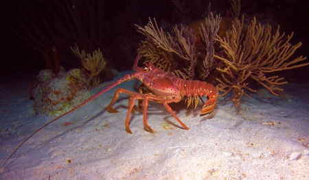 Red lobster in the wild, Cayo Largo, Cuba Stock Photo