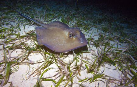 Stingray durante la noche de buceo, Cuba photo