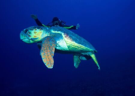 Old big green turtle and diver, Cuba photo