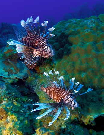 Lionfish  Pterois  near coral, Cayo Largo, Cuba Stock Photo - 15142608
