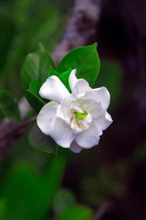 cuba butterfly: National flower of Cuba - La Mariposa (butterfly jasmine)