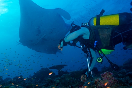 Big Manta Ray swiiming near sea surface and Scuba Diver photo