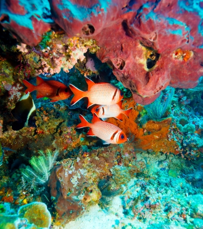 Underwater Landscape with  Soldier Fishes near Tropical Coral Reef, Bali, Indonesia photo