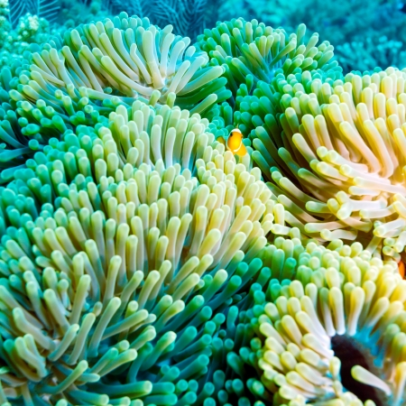 Underwater Landscape with  Anemone Fish near Tropical Coral Reef, Bali, Indonesia photo