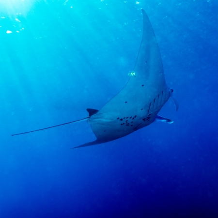 Swimming Big Manta Ray with Sun Rays near Sea Surface, Bali, Indonesia Stock Photo - 15776840