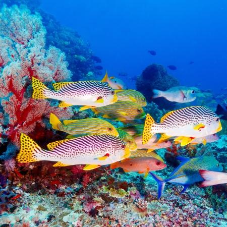 Unterwasser Landschaft mit Sweetlips Fische der Nähe von Tropical Coral Reef, Bali, Indonesien