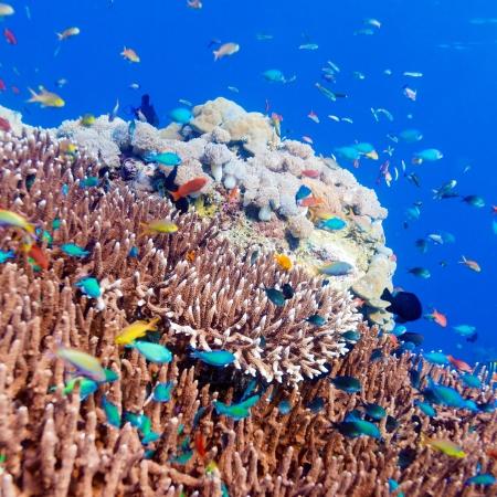 corales marinos: Paisaje subacu�tico con cientos de peces cerca de los Arrecifes de Coral Tropical, Bali, Indonesia