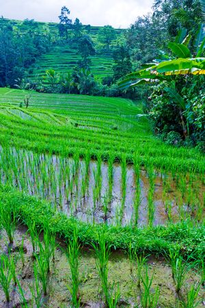 Landscape with Rice Field and Jungle in the Heart of Bali Island, Indonesia photo