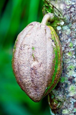 Arbre de chocolat Cacao en grains, Bali, Indonésie Banque d'images