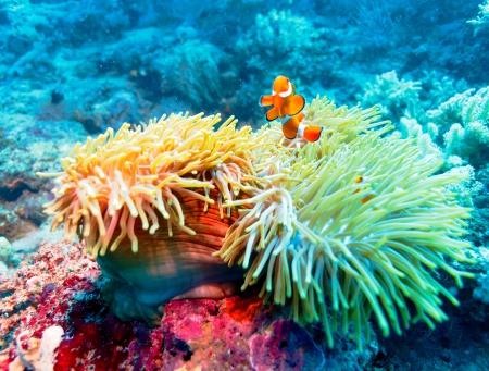 corales marinos: Paisaje subacu�tico con los pescados del payaso cerca de Arrecifes de Coral Tropical, Bali, Indonesia