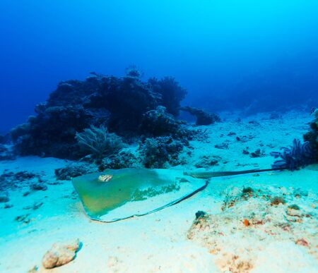 Stingray on Sandy Bottom of Coral Reef, Bali, Indonesia photo