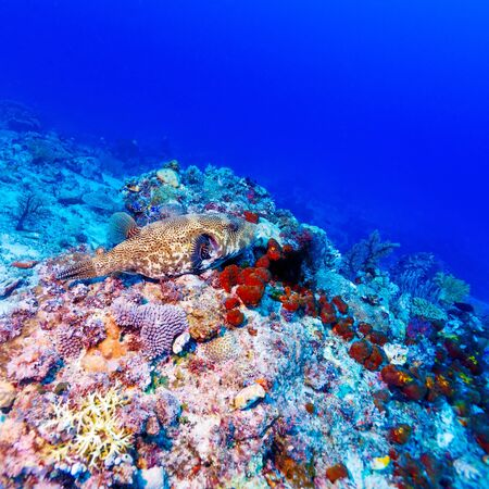 Underwater Landscape with Box fish near Tropical Coral Reef, Bali, Indonesia photo