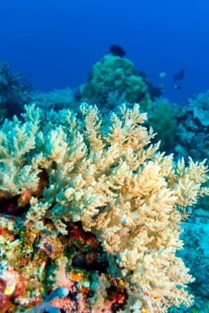 Colorful Tropical Reef Landscape with Soft Corals, bali, Indonesia 版權商用圖片