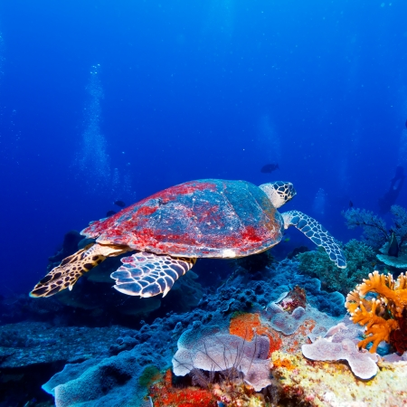Swimming green turtle  Chelonia mydas , Bali, Indonesia