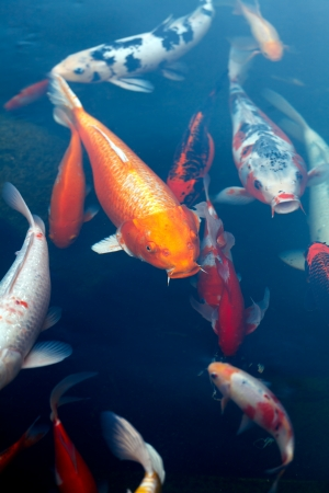 Koi Pond with Japan Colorful Carps photo