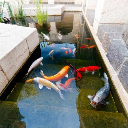koi fish: Koi Pond with Japan Colorful Carps
