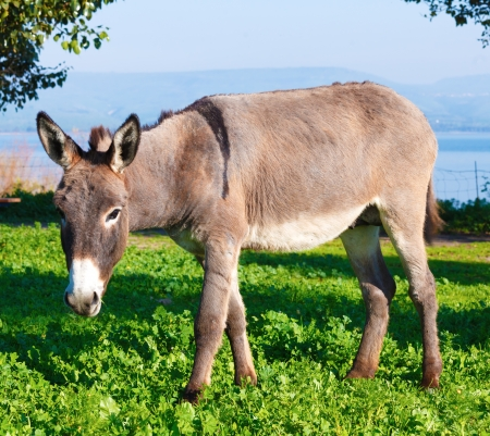 Cute Donkey with Green Grass and Lake photo